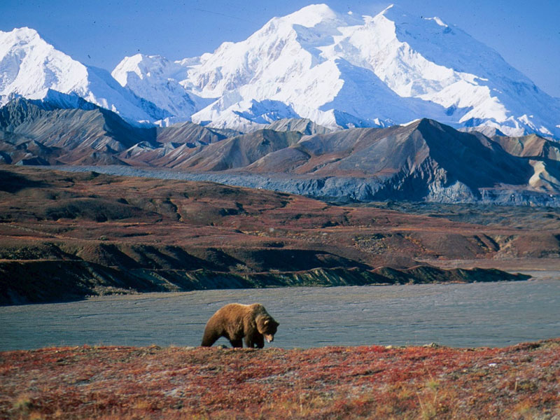 Alaska Rail & Road Trip Circle Tour | Denali National Park with Alaska Grizzly Bear