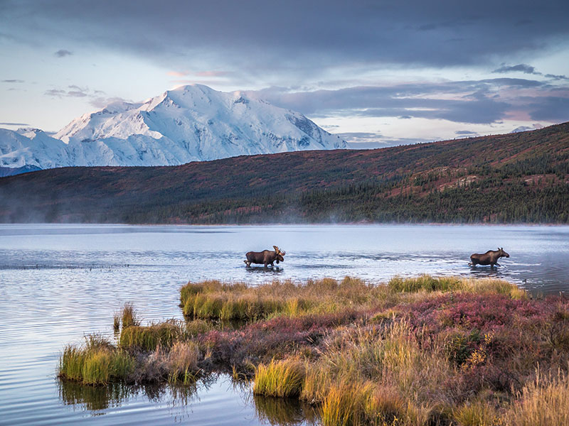 Alaska Rail & Road Trip Circle Tour | Denali National Park with Moose