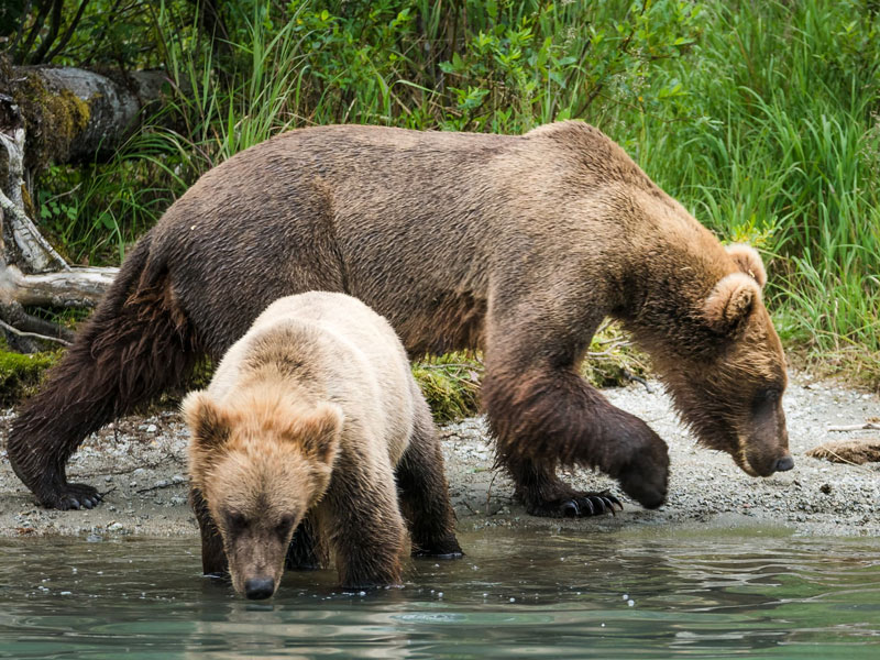Anchorage Day Trips | Redoubt Bay Bear Viewing Safari