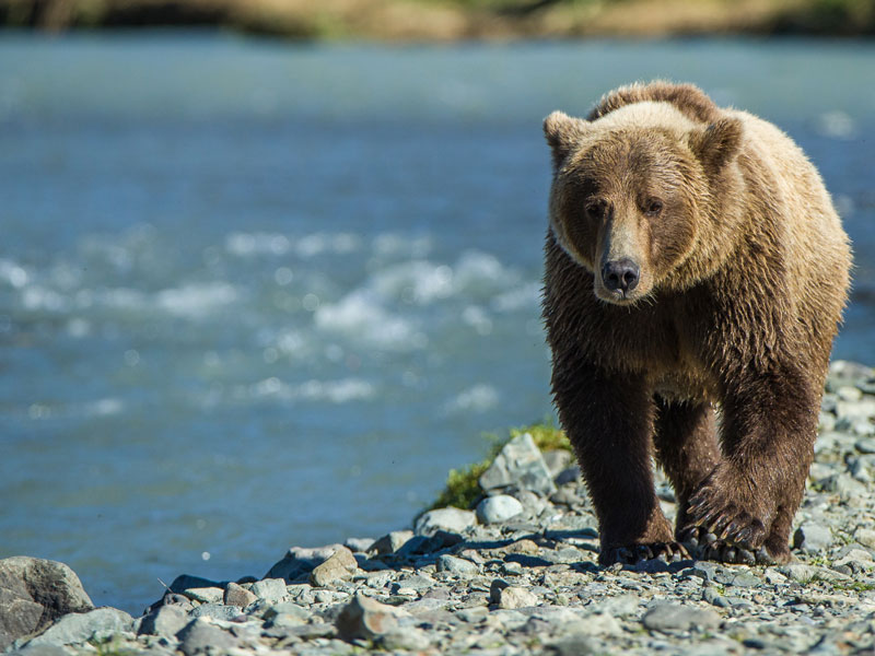 Alaska Luxury Remote Wilderness Lodges | Ultima Thule Lodge Alaska Brown Bear